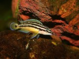 "Julidochromis ornatus ""Zaire"""