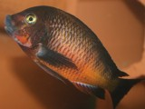 "Tropheus sp. red ""Kachese"""